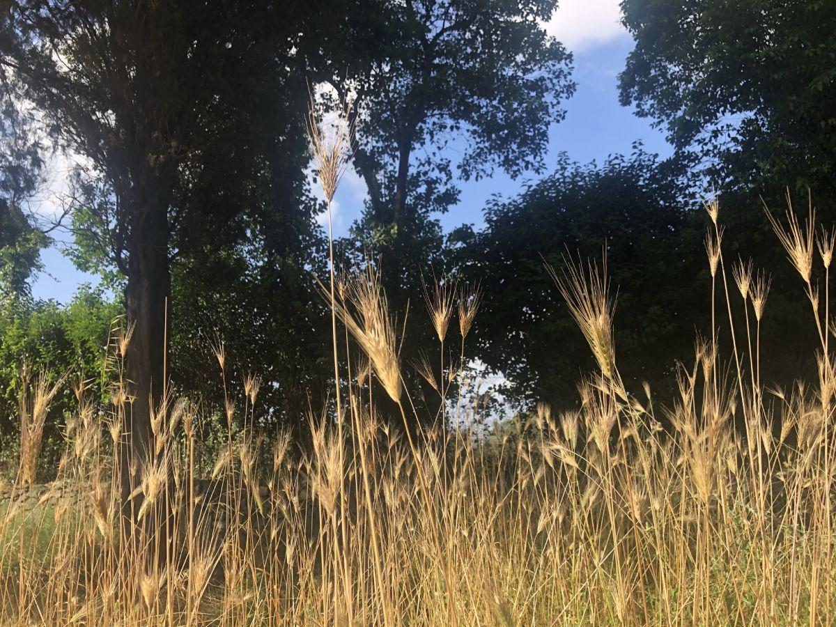Erbe spontanee nel parco Appia antica